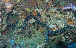 Krait de mer en bande, Laticauda