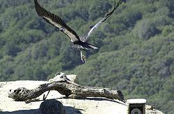 Een Californische condor (nog niet volgroeid)