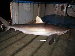 Rekin jedwabisty ma krótką pierwszą płetwę grzbietową i długie płetwy piersiowe.