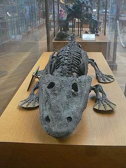Eryops , typisch für die großformatigen frühen Amphibien vor 310-295 Millionen Jahren