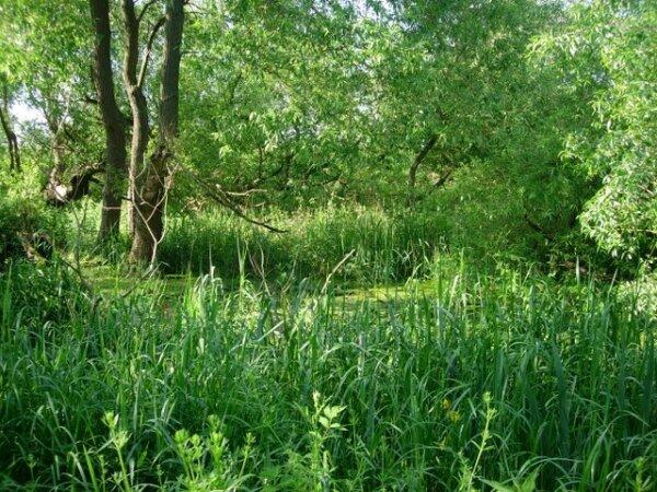 Een kleine vochtige begroeiing in Suffolk, misschien vergelijkbaar met het oorspronkelijke veengebied.