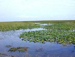 Süsswassersumpf in Florida