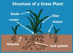 Die Teile einer Graspflanze
