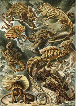 """""""Lacertilia"""", aus Ernst Haeckels Kunstformen der Natur, 1904"""