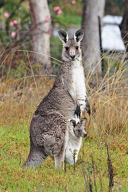 Ein Känguru mit einem Joey im Beutel