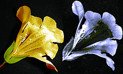 Bilder einer Mimulusblüte in sichtbarem Licht (links) und ultraviolettem Licht (rechts) zeigen einen dunklen Nektarleiter, der für Bienen, aber nicht für Menschen sichtbar ist