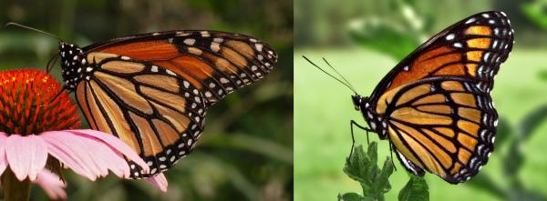 Dwa gatunki motyli wykazujące ten sam wzór ostrzegawczy: monarcha (po lewej) i wicekról (po prawej). Motyl Monarchy smakuje obrzydliwie i jest toksyczny, podczas gdy wicekról nie smakuje obrzydliwie i jest nietoksyczny. Jest to przykład bateskiego mimikry. Ptak próbujący monarchy będzie wtedy unikał wicekróla.