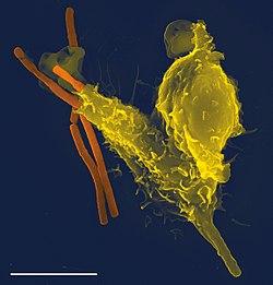Een foto met een rasterelektronenmicroscoop van een enkele neutrofiel (in het geel), die enkele anthraxbacteriën (in het oranje) opslokt.
