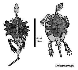 Schets van Odontochelys fossiel.