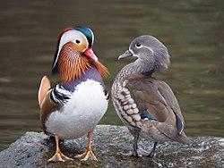 Para mandaryńskich kaczek. Dobry przykład ogólnej zasady: samce są błyszczące, samice są puszyste