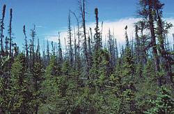 Zwarte sparren taiga, Copper River, Alaska