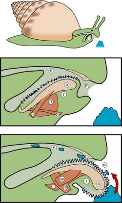Transversaal zicht van de buccale holte met de radula