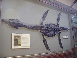 Een van Mary Anning's vondsten: Rhomaleosaurus in het Natural History Museum, Londen.
