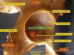 Die Hüftpfanne ist das Hüftgelenk (Pfanne) an der Oberseite jedes Beins