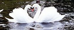 Swans mate for life