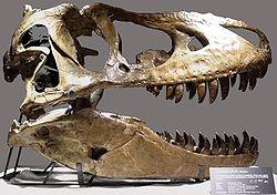 Een Tarbosaurus schedel