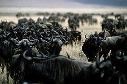 Stado Wildebeest