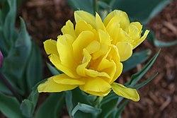 Diese Tulpe hat viele Blütenblätter (gelb)