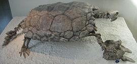 Skamieniałość Proganochelys quenstedti, to jeden z najstarszych znanych obecnie prawdziwych żółwi. W przeciwieństwie do współczesnych Testudines, Proganochelys nie był w stanie ukryć głowy pod skorupą.