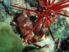 Krabbe in Aktion auf einem Seeigel