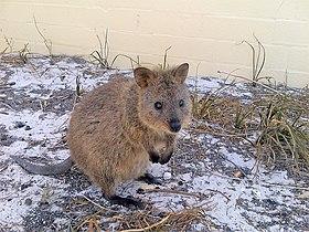 Quokka, Rottnest Island, Westaustralien