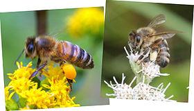 Bestuiverbestendigheid : deze twee honingbijen, actief op hetzelfde moment en op dezelfde plaats, bezoeken selectief bloemen van slechts één soort, zoals te zien is aan de kleur van het stuifmeel in hun mandje.