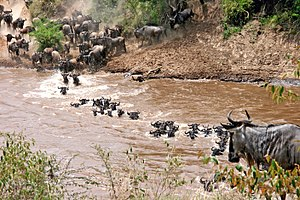 Gnus überqueren Fluss in Ostafrika