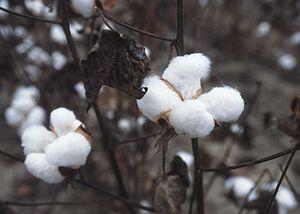 収穫の準備ができた綿花。