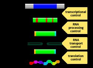 Diagram, ki prikazuje, na katerih stopnjah poti DNK-RNA-protein je mogoče nadzorovati izražanje