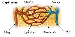 Das Blut fließt vom Herzen zu den Arterien, die sich zu Arteriolen verengen und dann noch weiter in die Kapillaren verengen. Nach der Durchblutung des Gewebes weiten sich die Kapillaren zu Venen und erweitern sich dann weiter zu Venen, die das Blut zum Herzen zurückführen.
