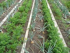 Imágenes principales Plantar zanahorias y cebollas una al lado de la otra es un ejemplo de plantación en compañía.