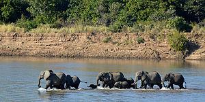 Der Afrikanische Elefant, Loxodonta africana, im Luanga-Nationalpark, Sambia