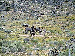 Ânes ou burros sauvages au Nevada