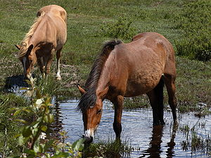 New Forest pony's