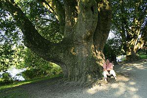 Een opmerkelijk voorbeeld van P. orientalis in het Cambron-Casteau Park, België.