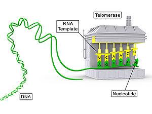 Een conceptueel schema met de eiwitcomponent van telomerase (TERT) in het grijs en de RNA-component (TR) in het geel.