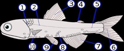 Анатомия Lampanyctodes hectoris 1. операкуляр (жаберная крышка) 2 и 5. латеральная линия 3. спинной плавник 4. жировой плавник 6. хвостовой плавник 7. анальный плавник 8. фотофоры 9. брюшные плавники в паре 10. грудные плавники (парные)