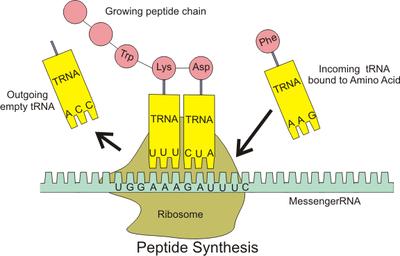 Rybosomy odczytują sekwencję posłańczego RNA i z aminokwasów związanych z transferowym RNA montują białka.