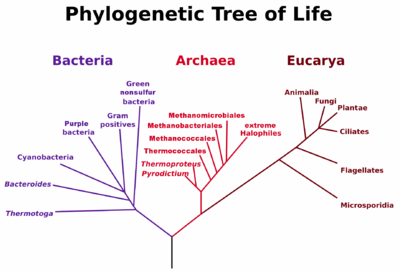 Fylogenetische levensboom (Carl Woese). Virussen verschijnen hier niet omdat er geen bewijs is van hoe ze zich verhouden tot de andere drie koninkrijken van het leven