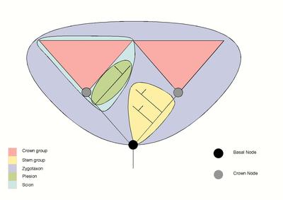 Dargestellt sind zwei verschiedene Kronengruppen (in rot), die durch einen Vorfahren (schwarzer Kreis) verbunden sind. Die beiden Gruppen bilden eine größere Kronengruppe (flieder).