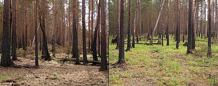 Ecologische successie na een natuurbrand in een boreaal dennenbos naast het Hara Bog, Lahemaa Nationaal Park, Estland. De foto's zijn één en twee jaar na de brand genomen.