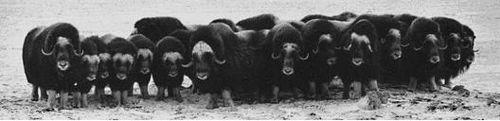 Muskoxen w formacji obronnej, z zadartymi rogami, bardzo czujni