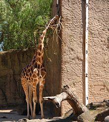 Questa giraffa è alta quasi 5 metri