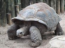 Želva obrovská Aldabra