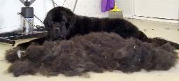 Ein Neufundlandhund, der neben seinem ausgekämmten Haar liegt.
