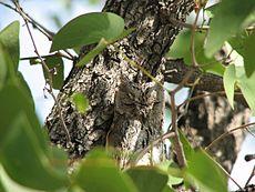 Ta sowa Scops jest prawie niewidoczna na drzewie.