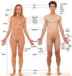 Die Anatomie des weiblichen und männlichen Menschen. Bei diesen Modellen wurden Körper- und Gesichtshaare entfernt und die Kopfhaare getrimmt