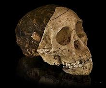 Afgietsel met de drie delen van de schedel