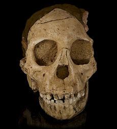 De grote ontdekking van Raymond Dart: het Taungkind, Australopithecus africanus