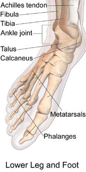 下腿と足の骨のイラスト